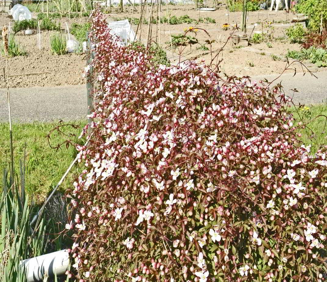 …of de uitbundig bloeiende clematis bij de pomp in de middensloot!
