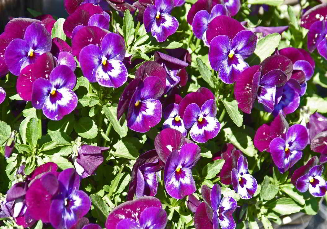 mooie violen